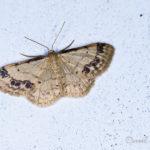 Acidalie retournée (Idaea trigeminata) - papillons de nuit de la forêt de Fontainebleau
