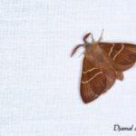Bombyx de la ronce (Macrothylacia rubi) - papillons de nuit de la forêt de Fontainebleau