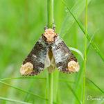 Bucéphale (Phalera bucephala) - papillons de nuit de la forêt de Fontainebleau