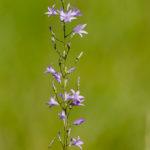 Campanule raiponce - Fleurs sauvages de la forêt de Fontainebleau