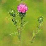 Chardon - Fleurs sauvages de la forêt de Fontainebleau