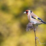 Chardonneret élégant (Carduelis carduelis) - Oiseau de la forêt de Fontainebleau