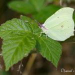 Citron (Gonepteryx rhamni) - papillons de jour de la forêt de Fontainebleau