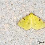Citronnelle rouillée (Opisthograptis luteolata) - papillons de nuit de la forêt de Fontainebleau