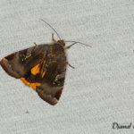 Collier soufré (Noctua janthe) - papillons de nuit de la forêt de Fontainebleau