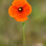 Coquelicot - Fleurs sauvages de la forêt de Fontainebleau