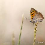 Cuivré commun (Lycaena phlaeas) - papillons de jour de la forêt de Fontainebleau