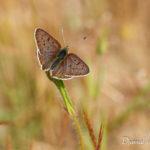 Cuivré fuligineux (Lycaena tityrus) - papillons de jour de la forêt de Fontainebleau