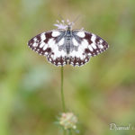 Demi-deuil (Melanargia galathea) - papillons de jour de la forêt de Fontainebleau