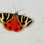 Écaille échinée (Euplagia quadripunctaria) - papillons de nuit de la forêt de Fontainebleau