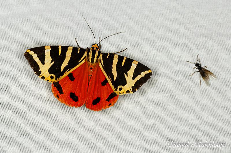 Papillons nocturnes - Galerie photo