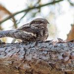 Engoulevent d'Europe (Caprimulgus europaeus) - Oiseau de la forêt de Fontainebleau