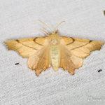 Ennomos rongée (Ennomos erosaria) - papillons de nuit de la forêt de Fontainebleau