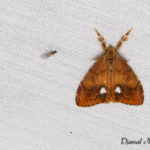 Étoilée (Orgya antiqua) - papillons de nuit de la forêt de Fontainebleau