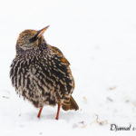 Étourneau sansonnet (Sturnus vulgaris) - Oiseau de la forêt de Fontainebleau