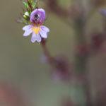 Euphraise raide - Fleurs sauvages de la forêt de Fontainebleau
