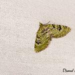 Eupithecie couronnée (Chloroclystis v-ata) - papillons de nuit de la forêt de Fontainebleau