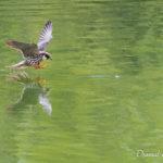 Faucon hobereau (Falco subbuteo) - Oiseau migrateur de la forêt de Fontainebleau