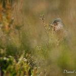 Fauvette pitchou (Sylvia undata) - Oiseau de la forêt de Fontainebleau