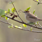 Fauvette à tête noire (Sylvia atricapilla) - Oiseau de la forêt de Fontainebleau