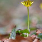 Ficaire fausse renoncule - Fleurs sauvages de la forêt de Fontainebleau