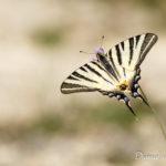 Flambé (Iphiclides podalirius) - papillons de jour de la forêt de Fontainebleau