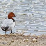 Fuligule milouin (Aythya ferina) - Oiseau de la forêt de Fontainebleau