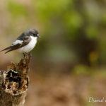 Gobemouche noir (Ficedula hypoleuca) - Oiseau de la forêt de Fontainebleau