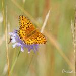 Grand nacré (Argynnis aglaja) - papillons de jour de la forêt de Fontainebleau