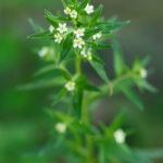 Grémil officinal - Fleurs sauvages de la forêt de Fontainebleau