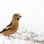Gros bec casse noyaux (Coccothraustes coccothraustes) - Oiseau de la forêt de Fontainebleau