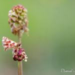 Hespérie de la sanguisorbe (Spialia sertorius) - papillons de jour de la forêt de Fontainebleau