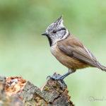 Mésange huppée (Lophophanes cristatus) - Oiseau de la forêt de Fontainebleau