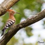 Huppe fasciée (Upupa epops) - Oiseau de la forêt de Fontainebleau