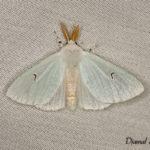 I noir (Arctornis l-nigrum) - papillons de nuit de la forêt de Fontainebleau