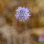Jasione des montagnes - Fleurs sauvages de la forêt de Fontainebleau