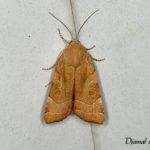 La Frangée (Noctua fimbriata Schreber) - papillons de nuit de la forêt de Fontainebleau