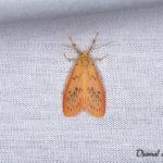 La Rosette (Miltochrista miniata) - papillons de nuit de la forêt de Fontainebleau