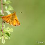 La Sylvaine (Ochlodes sylvanus) - papillons de jour de la forêt de Fontainebleau