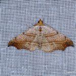 Le Crochet (Lasperya flexula) - papillons de nuit de la forêt de Fontainebleau