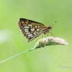 Hespérie à miroir (hetropterus morpheus) - papillons de jour de la forêt de Fontainebleau
