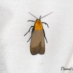 Lithosie quadrille (Lithosia quadra) - papillons de nuit de la forêt de Fontainebleau