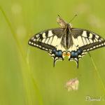 Machaon (Papilio machaon) - papillons de jour de la forêt de Fontainebleau