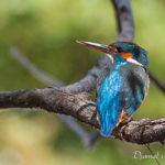 Martin pêcheur (Alcedo atthis) - Oiseau de la forêt de Fontainebleau