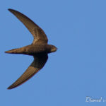 Martinet noir (Apus apus) - Oiseau de la forêt de Fontainebleau