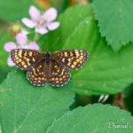 Mélitée des mélampyres (Melitaea athalia) - papillons de jour de la forêt de Fontainebleau