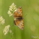 Mélitée du plantain (Melitaea cinxia) - papillons de jour de la forêt de Fontainebleau