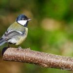 Mésange charbonnière (Parus major) - Oiseau de la forêt de Fontainebleau