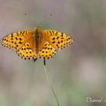 Moyen nacré (Argynnis adippe) - papillons de jour de la forêt de Fontainebleau