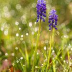 Muscari négligé - Fleurs sauvages de la forêt de Fontainebleau